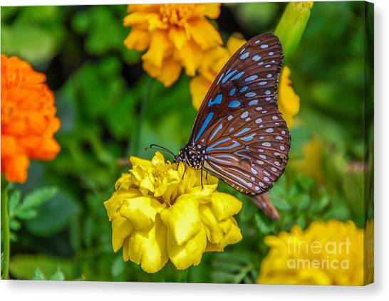 Butterfly On Yellow Marigold Canvas Print