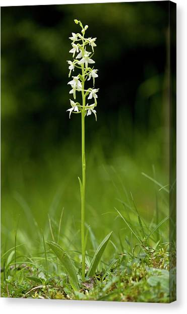 Butterfly-orchid (platanthera Bifolia) Canvas Print by Bob Gibbons