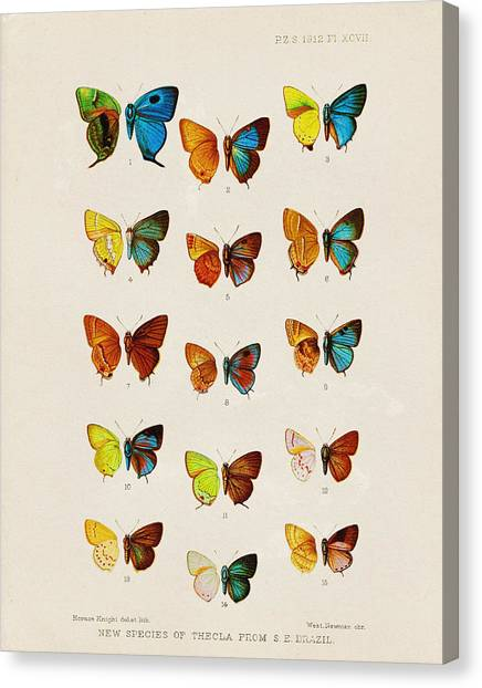 Butterflies Canvas Print - Butterfly Plate by Pati Photography