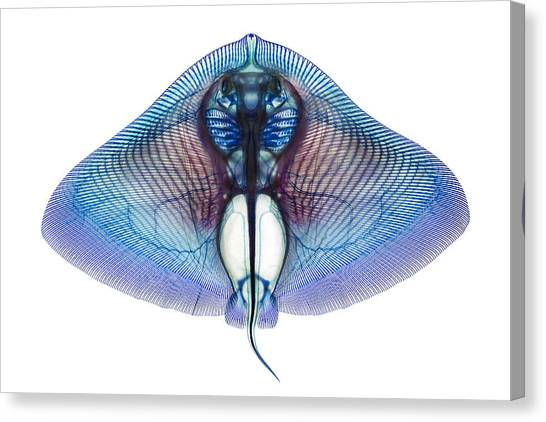 Skeletons Canvas Print - Butterfly Ray by Adam Summers