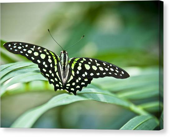 Butterfly Resting Color Canvas Print