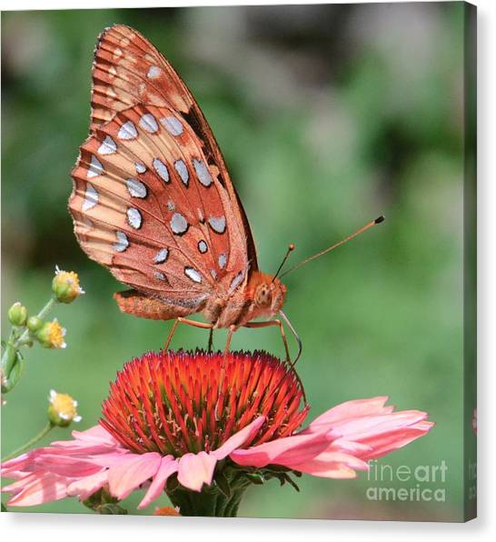 Butterfly Sipping A Coneflower Canvas Print