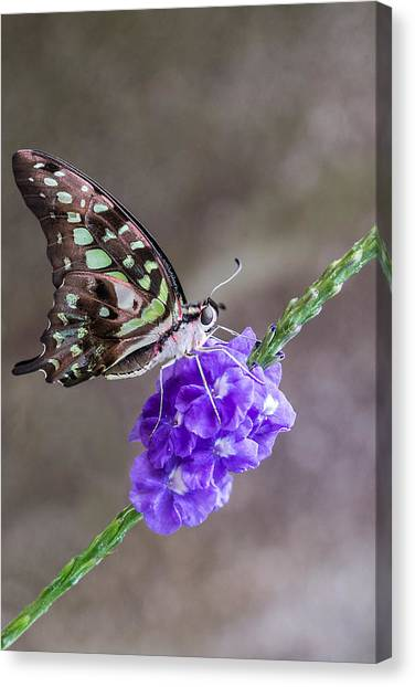 Butterfly - Tailed Jay I Canvas Print
