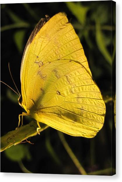 Butterscotch Canvas Print