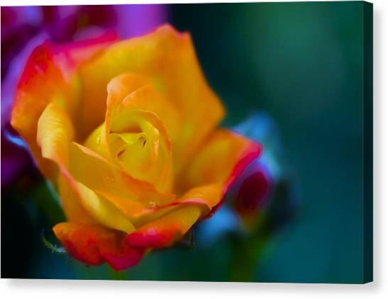 Butterscotch Rose Canvas Print