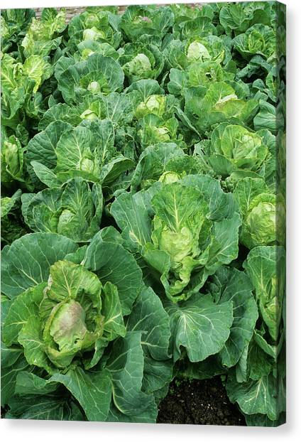 Cabbage (brassica 'golden Acre Primo II') Canvas Print by Geoff Kidd/science Photo Library