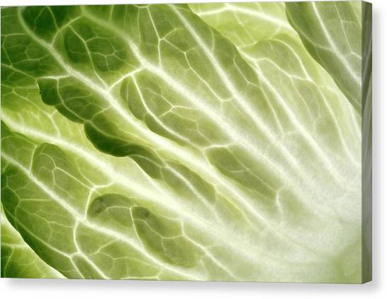 Cabbage Leaf Veins Canvas Print by Uk Crown Copyright Courtesy Of Fera/science Photo Library