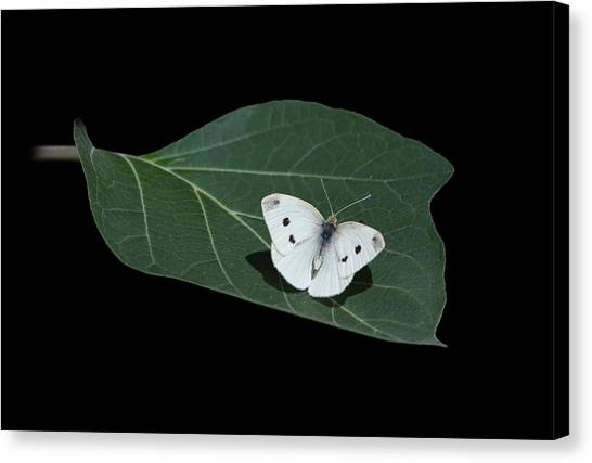Cabbage Canvas Print - Cabbage White Butterfly by Angie Vogel