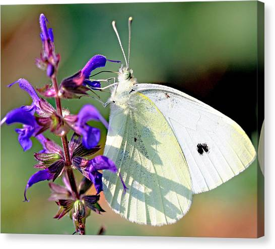 Cabbage White Butterfly Canvas Print by Brian Magnier