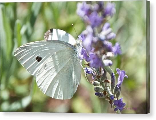 Cabbage White On Lavender  Canvas Print