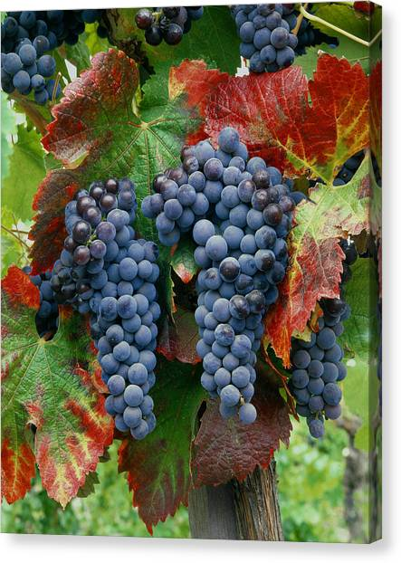 5b6374-cabernet Sauvignon Grapes At Harvest Canvas Print