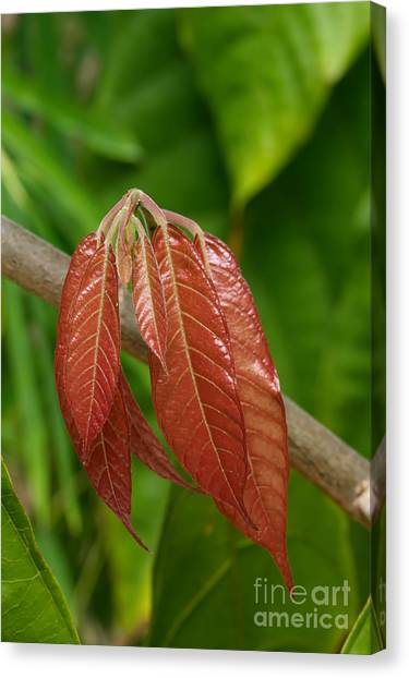 Canvas Print - Cacao Leaf New Growth by Jared Shomo