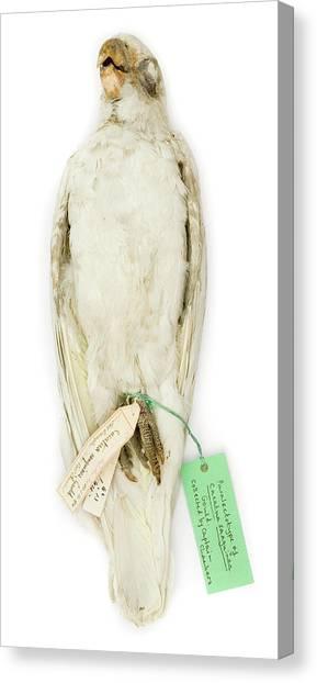 Cockatoo Canvas Print - Cacatua Sanguinea by Natural History Museum, London