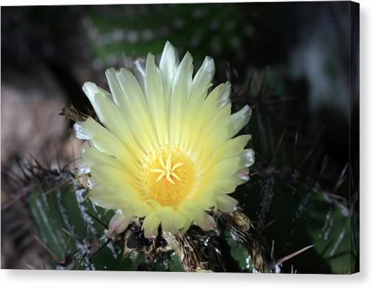Cacti Flower In White Canvas Print