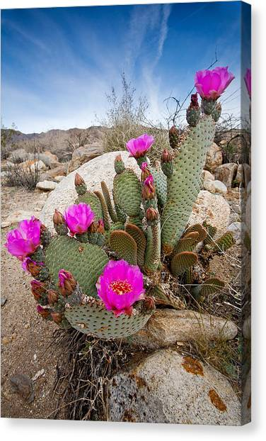 Beavers Canvas Print - Cactus Blooms by Peter Tellone