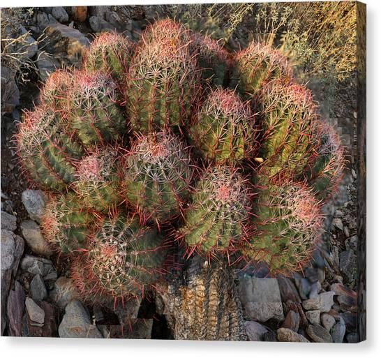Cactus Burst Canvas Print