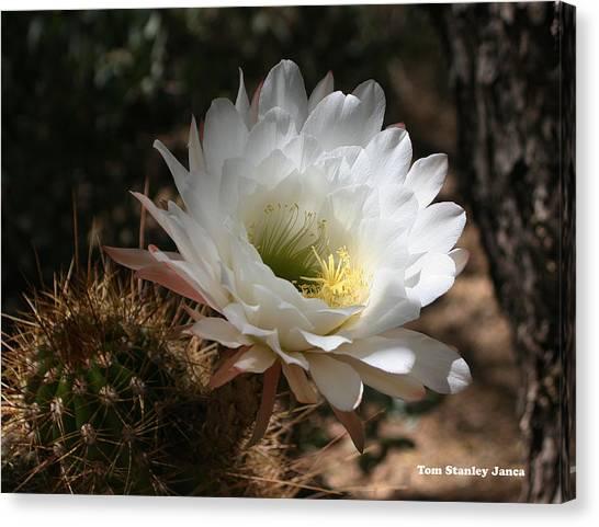 Cactus Flower Full Bloom Canvas Print