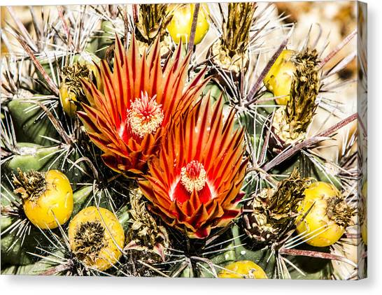 Cactus Flowers And Fruit Canvas Print