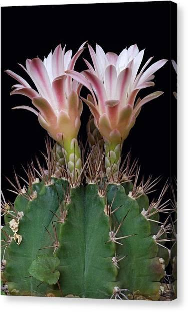 Chin Canvas Print - Cactus (gymnocalicium Michanovichii) by Dr. Nick Kurzenko/science Photo Library