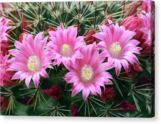 Cactus Mammillaria Zeilmanniana 'new Dawn' Canvas Print by Nigel Downer/science Photo Library