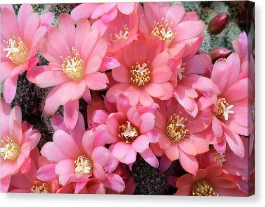 Cactus Rebutia Albiflora Canvas Print by Nigel Downer/science Photo Library