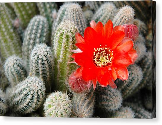 Cactus With Orange Flower.  Canvas Print