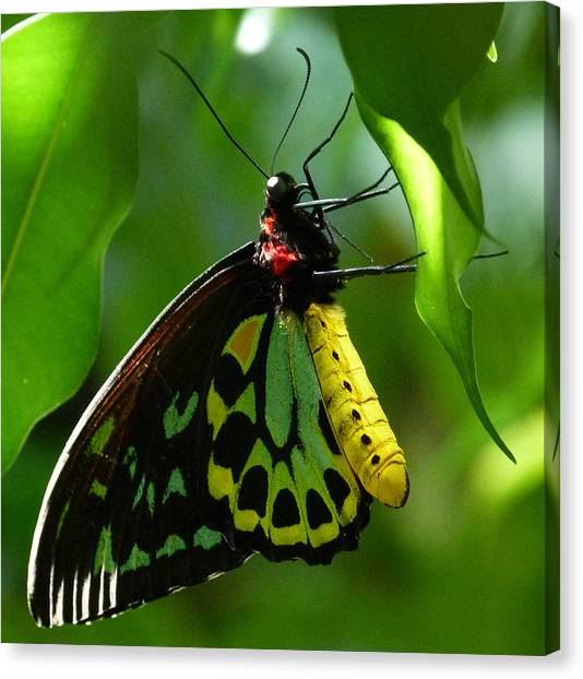 Cairns Birdwing Butterfly 3 Canvas Print