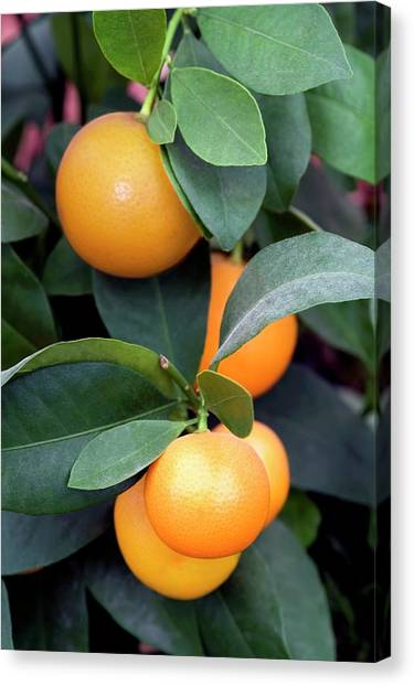 Calamondin (citrus Madurensis) Canvas Print by Brian Gadsby/science Photo Library