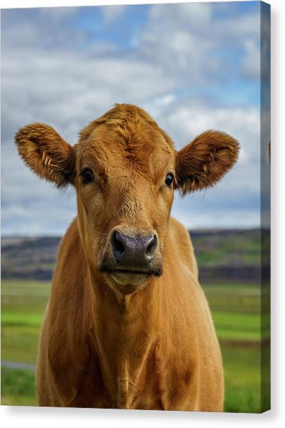 Calf Looking At The Camera, Iceland Canvas Print by Arctic-images