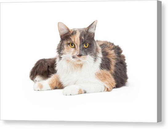 Calico Cat Canvas Print - Calico Domestic Longhair Cat Laying by Susan Schmitz