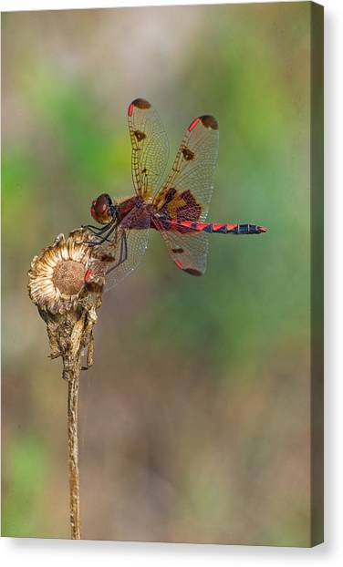 Calico Pennant On Dried Flower Canvas Print