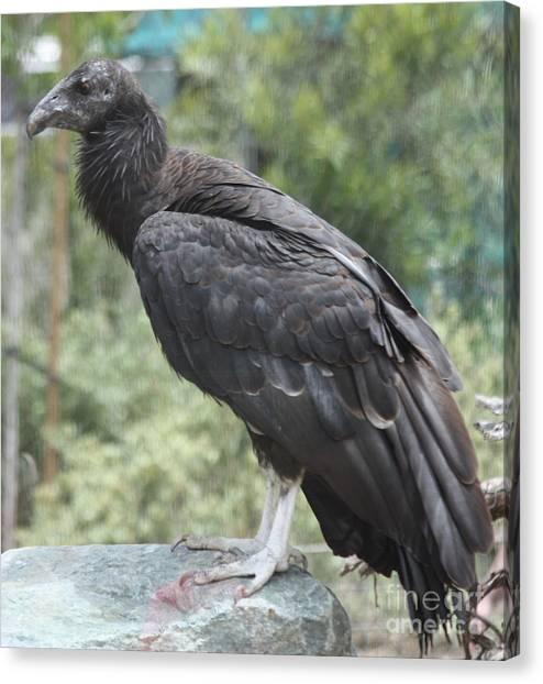 Condors Canvas Print - California Condor by John Telfer