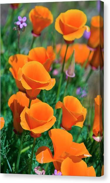Balance Beam Canvas Print - California Poppies (eschscholzia by Russ Bishop