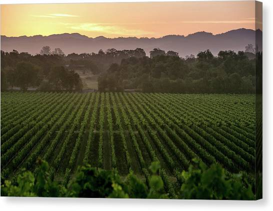 Sonoma Valley Canvas Print - California Prepares For 2014 Grape by George Rose