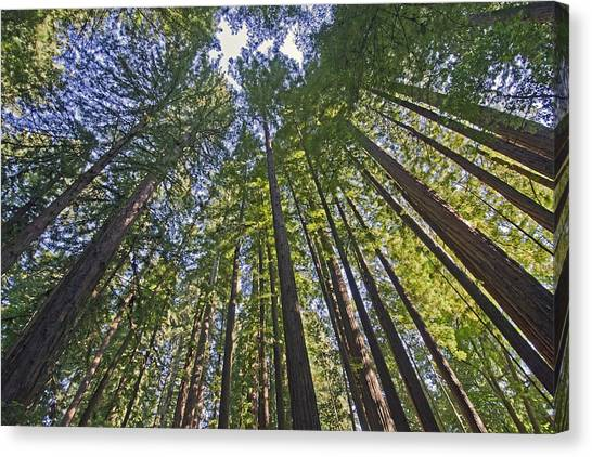 Redwood Forest Canvas Print - California Redwood Forest by Brendan Reals