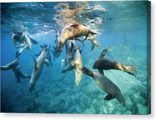 Animal Behaviour Canvas Print - California Sea Lions And Snorkeller by Christopher Swann