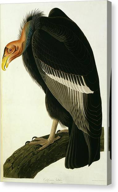 Condors Canvas Print - Californian Condor by Natural History Museum, London/science Photo Library