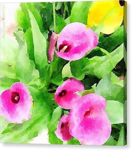 Lilies Canvas Print - Calla Lilies  by Anna Porter