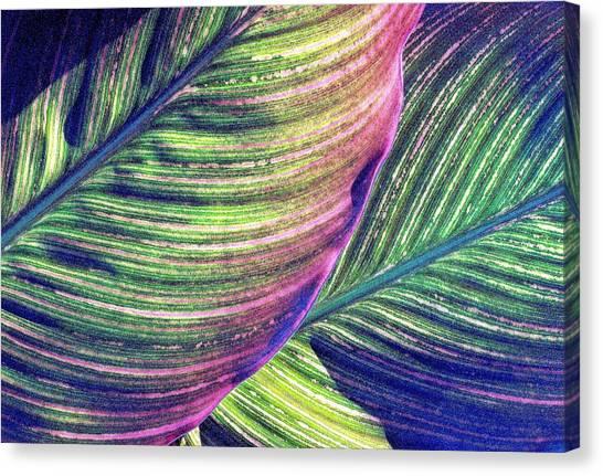 Calla Lily 1 Canvas Print
