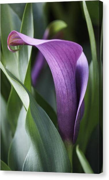 Calla Lily In Purple Ombre Canvas Print