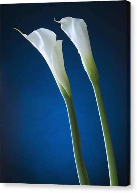 Calla Lily On Blue Canvas Print