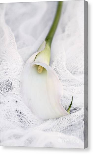 Calla Lily On White Background Canvas Print