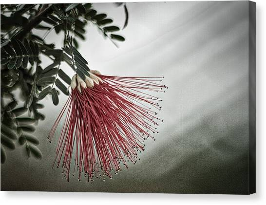 Calliandra Californica Canvas Print