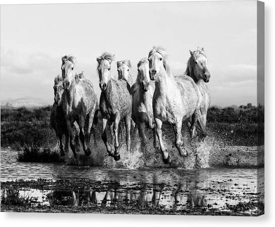 Camargue Horses At The Gallop Bw Canvas Print