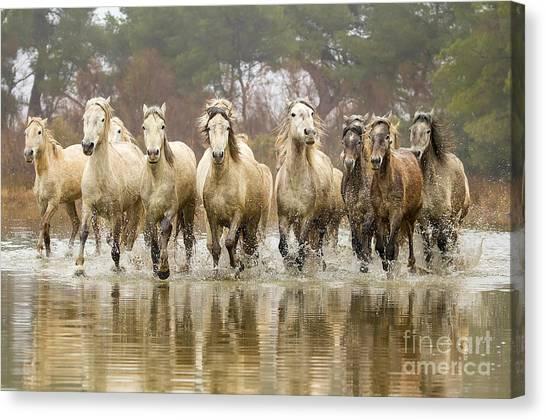 Camargue Horses At The Gallop Canvas Print