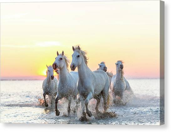 Camargue White Horses Running In Water Canvas Print
