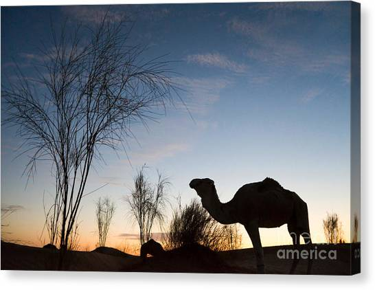 Sahara Desert Canvas Print - Camel Sunset by Delphimages Photo Creations