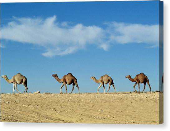 Sahara Desert Canvas Print - Camel Train by Anonymous