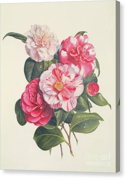 Augusta Canvas Print - Camelias by Augusta Innes Withers