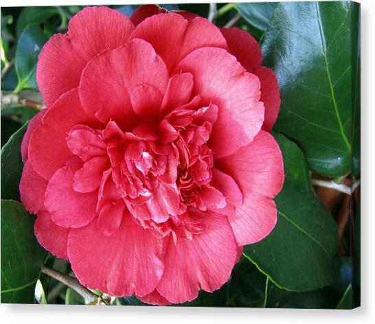Camellia 1 Canvas Print